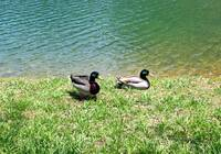 DUCKS AT POND at GRAY WOLF in Sevier County TN