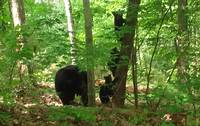 Mama Bear with 4 Cubs at WHISPERING WINDS in Sevier County TN