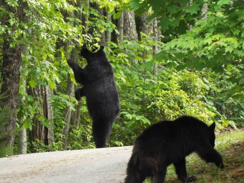 Bear Walk 0