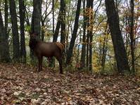 Elk Spotted Near Blue Ridge Parkway- this was taken by Jeff & Debbie Forrest on their 8th visit with Maples Ridge Vacation Rentals at Mountain Romance 1 in Gatlinburg TN